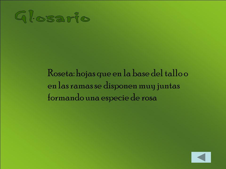 Glosario Roseta: hojas que en la base del tallo o en las ramas se disponen muy juntas formando una especie de rosa.