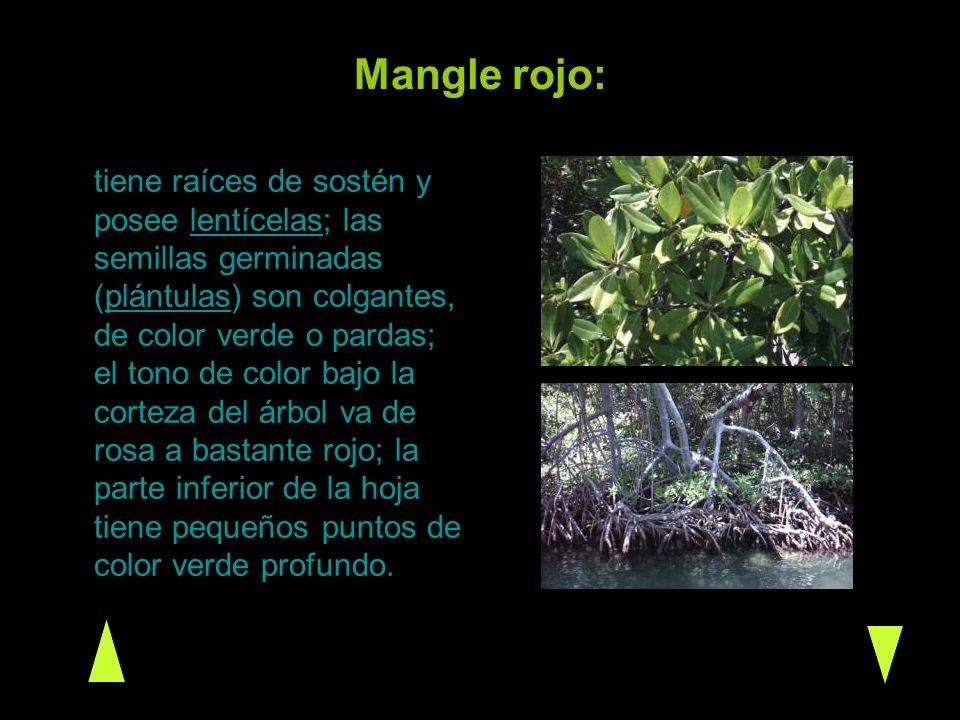 Mangle rojo: