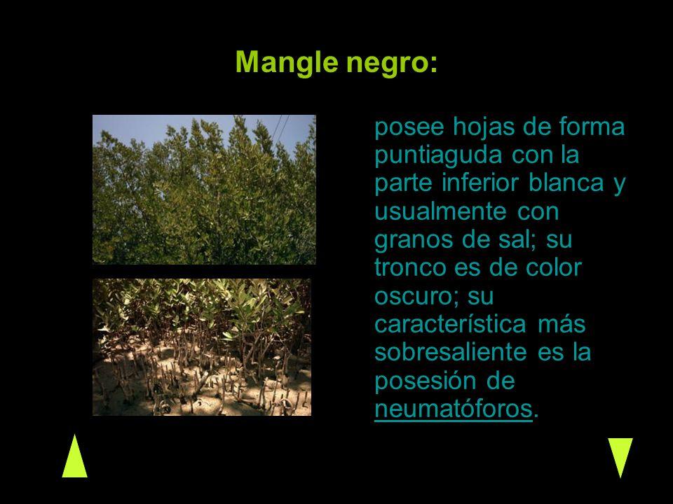Mangle negro: