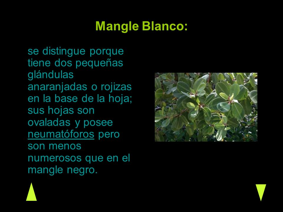 Mangle Blanco: