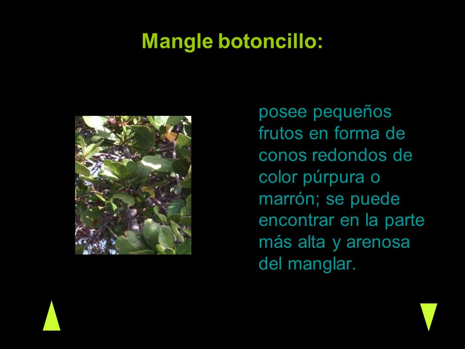 Mangle botoncillo: