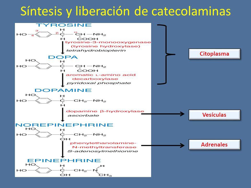 Síntesis y liberación de catecolaminas