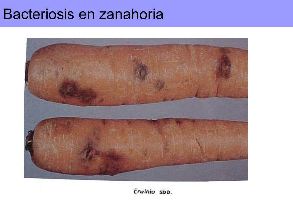 Bacteriosis en zanahoria