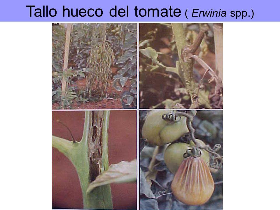 Tallo hueco del tomate ( Erwinia spp.)