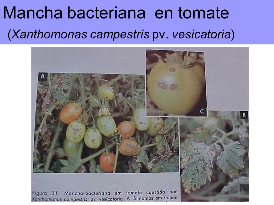 Mancha bacteriana en tomate (Xanthomonas campestris pv. vesicatoria)