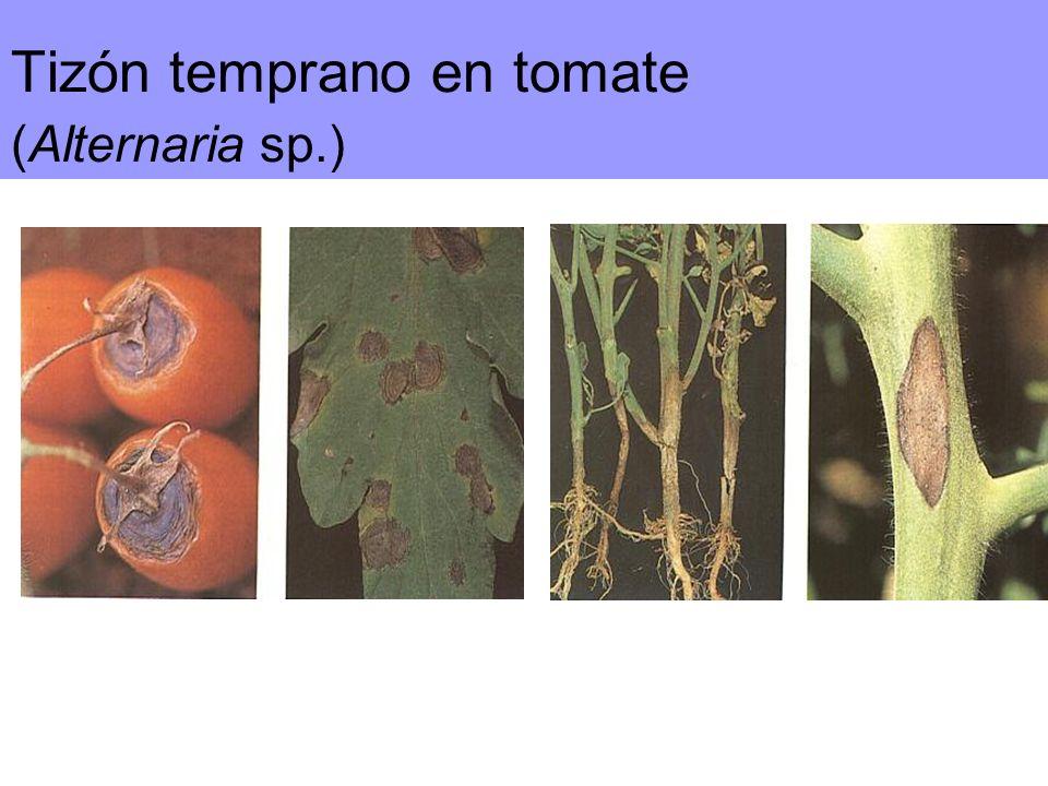 Tizón temprano en tomate (Alternaria sp.)