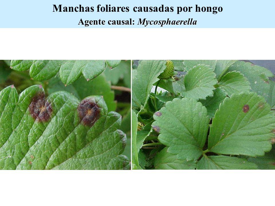 Manchas foliares causadas por hongo Agente causal: Mycosphaerella