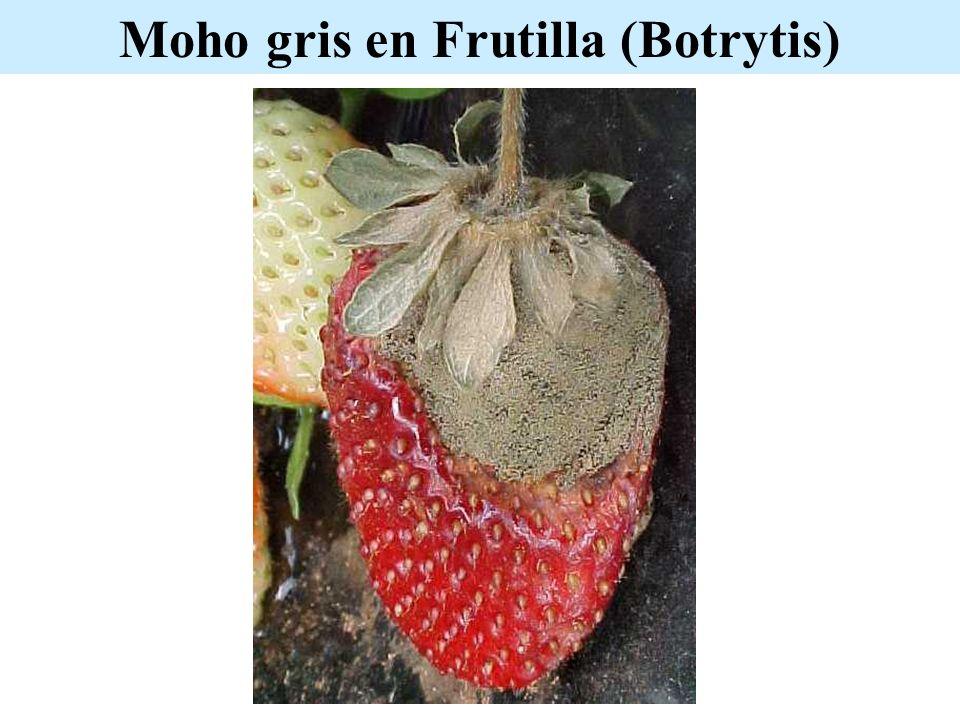 Moho gris en Frutilla (Botrytis)