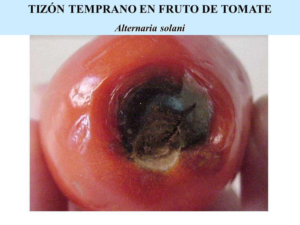 TIZÓN TEMPRANO EN FRUTO DE TOMATE