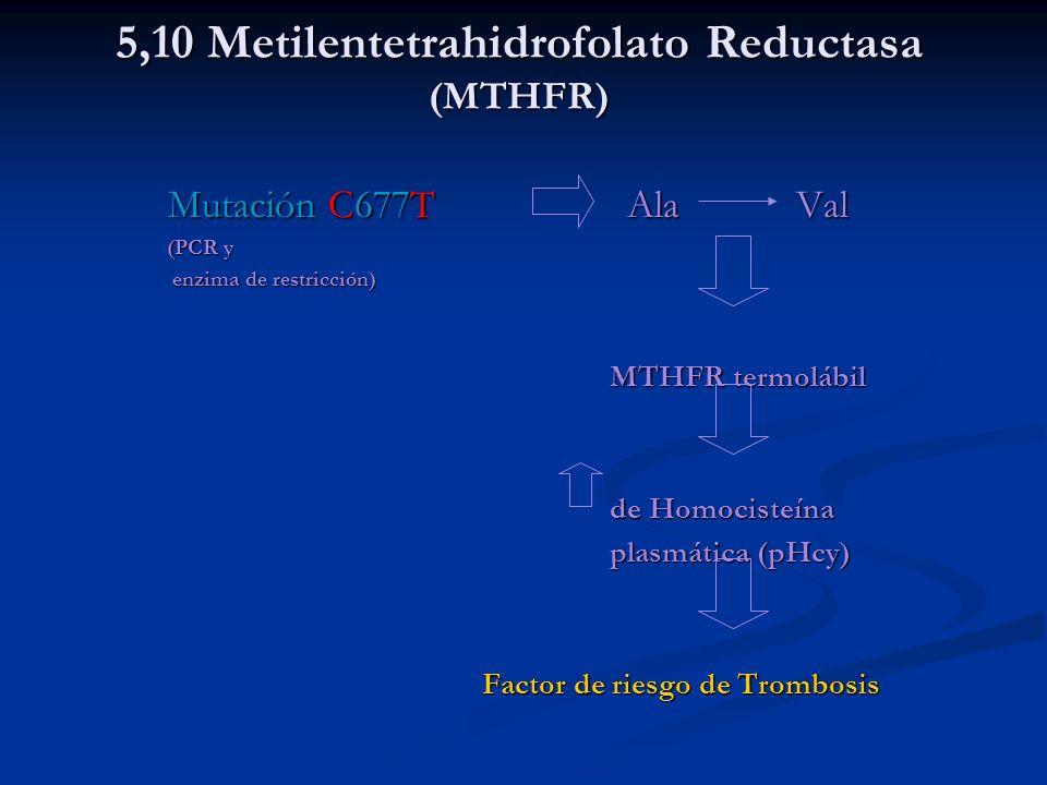 5,10 Metilentetrahidrofolato Reductasa (MTHFR)