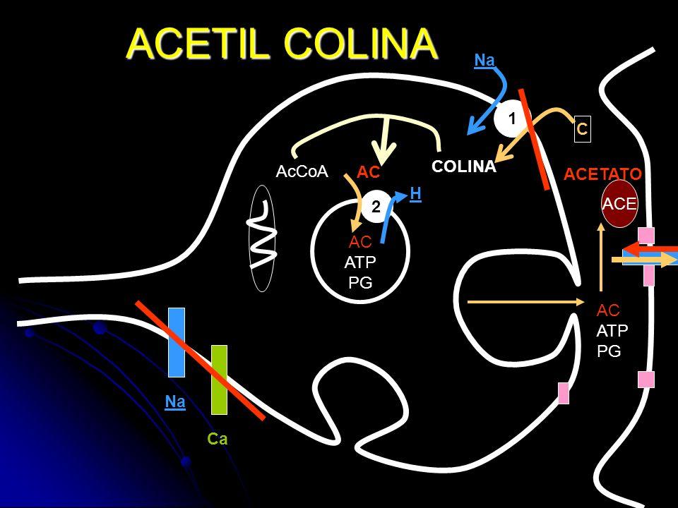 ACETIL COLINA Na 1 C COLINA AcCoA AC ACETATO H ACE 2 AC ATP PG AC ATP