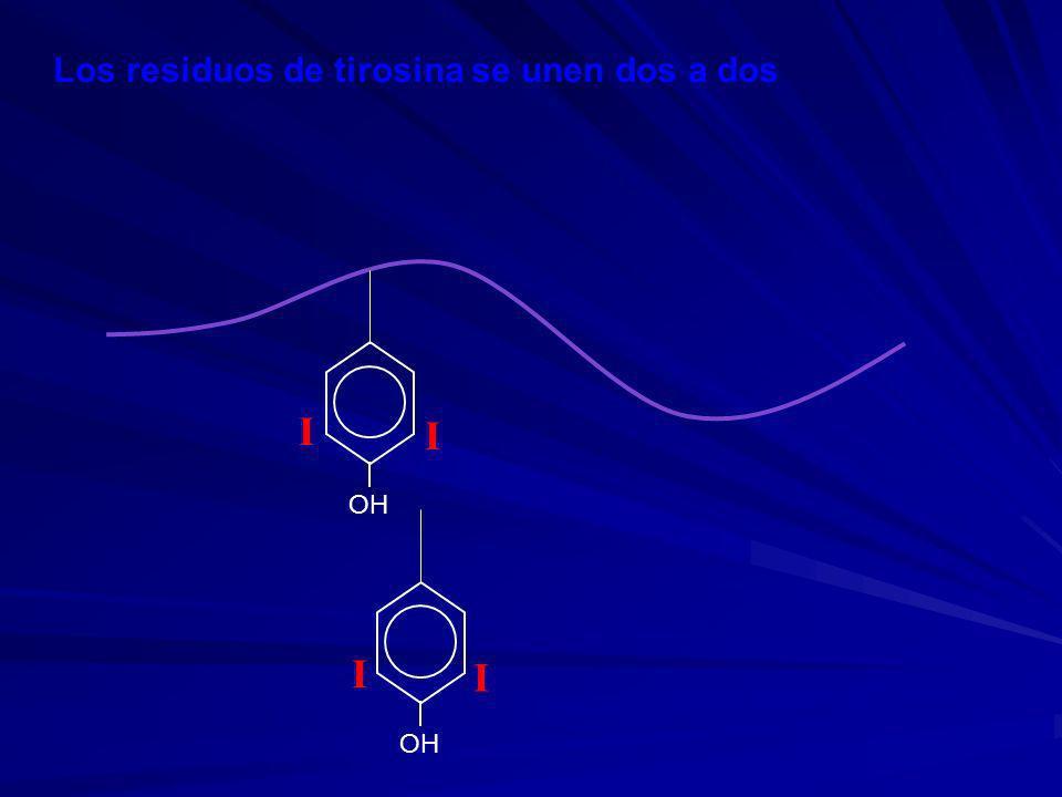 Los residuos de tirosina se unen dos a dos