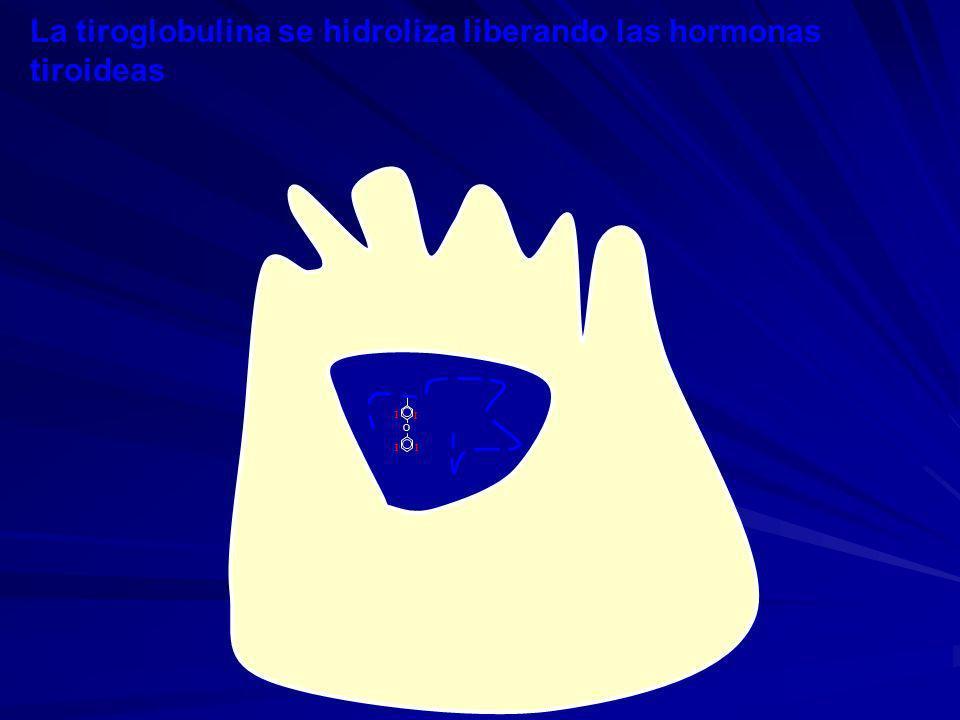 La tiroglobulina se hidroliza liberando las hormonas tiroideas