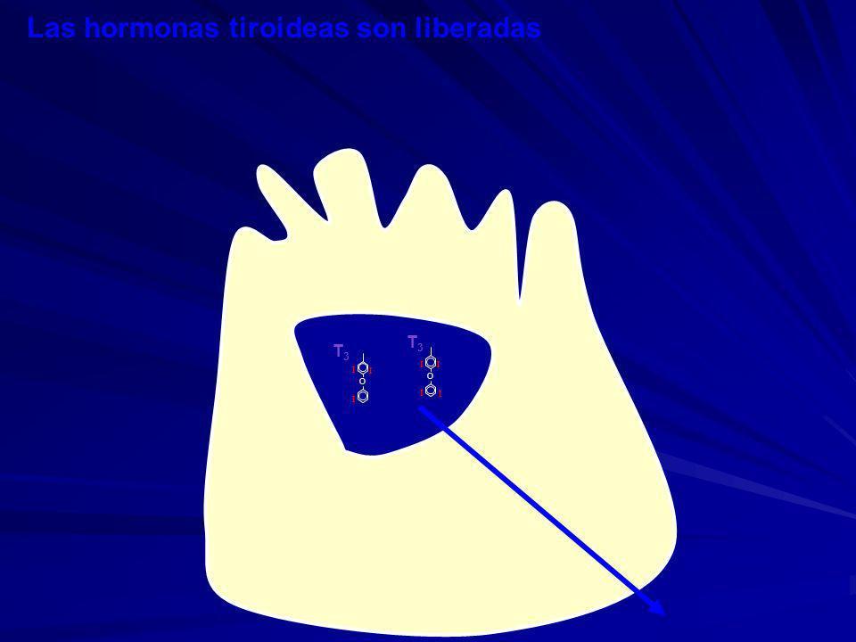 Las hormonas tiroideas son liberadas
