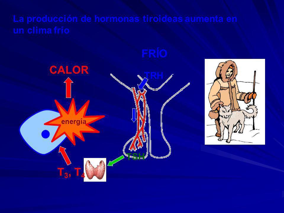 La producción de hormonas tiroideas aumenta en un clima frío