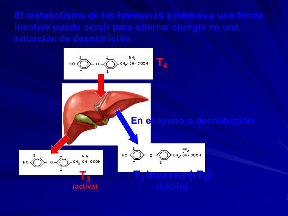 El metabolismo de las hormonas tiroideas a una forma inactiva puede servir para ahorrar energía en una situación de desnutrición