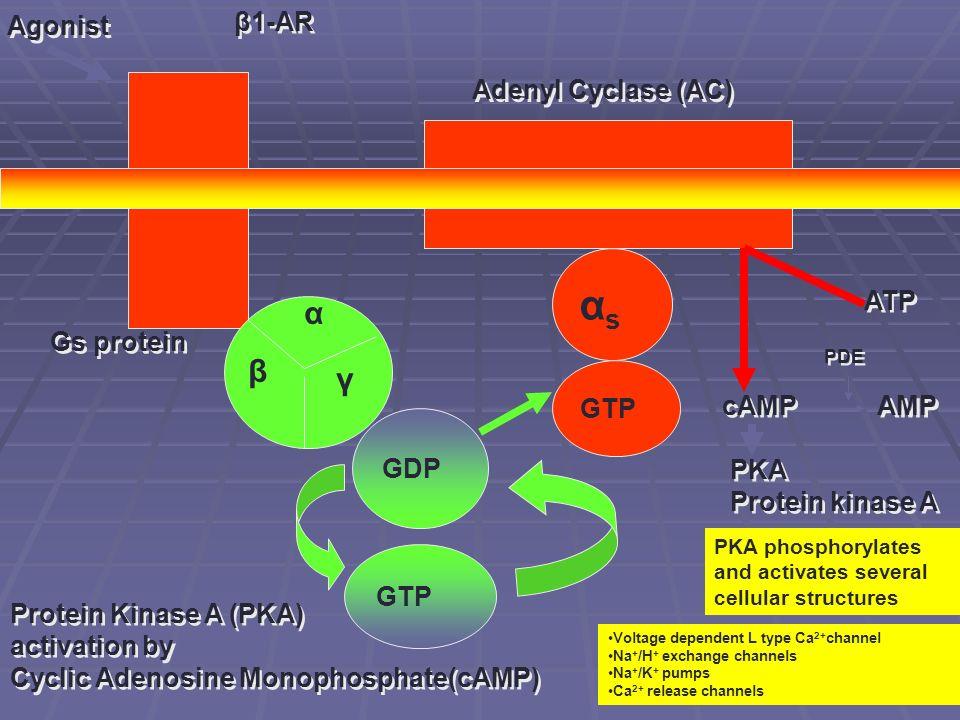 αs α β γ Agonist β1-AR Adenyl Cyclase (AC) ATP Gs protein GTP cAMP AMP