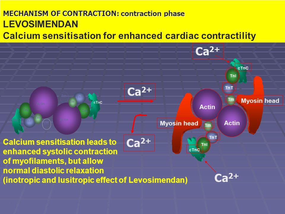 Il meccanismo contrattile: fase di contrazione
