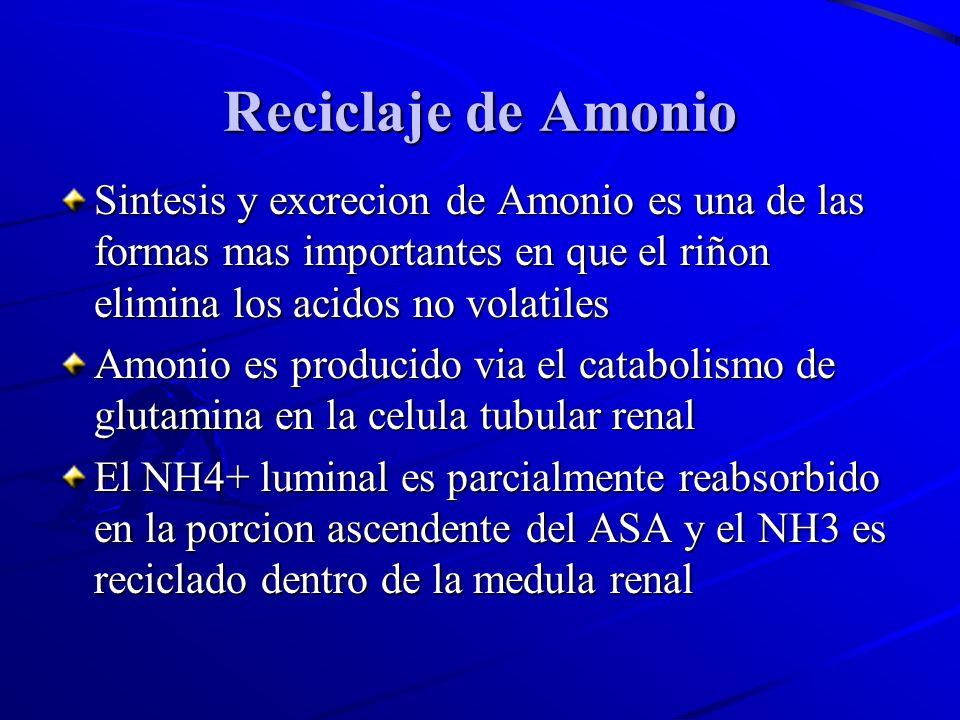 Reciclaje de Amonio Sintesis y excrecion de Amonio es una de las formas mas importantes en que el riñon elimina los acidos no volatiles.
