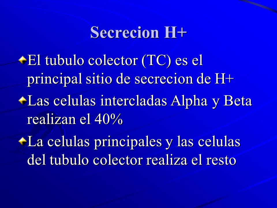 Secrecion H+El tubulo colector (TC) es el principal sitio de secrecion de H+ Las celulas intercladas Alpha y Beta realizan el 40%
