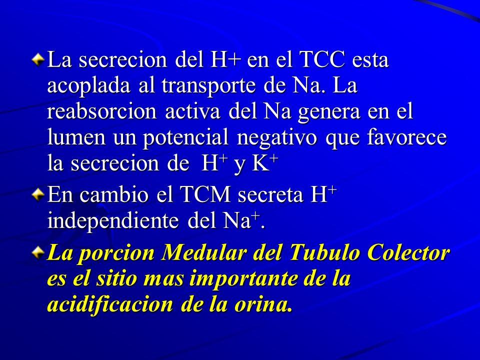 La secrecion del H+ en el TCC esta acoplada al transporte de Na
