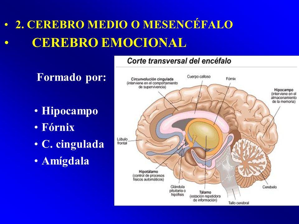 CEREBRO EMOCIONAL 2. CEREBRO MEDIO O MESENCÉFALO Formado por: