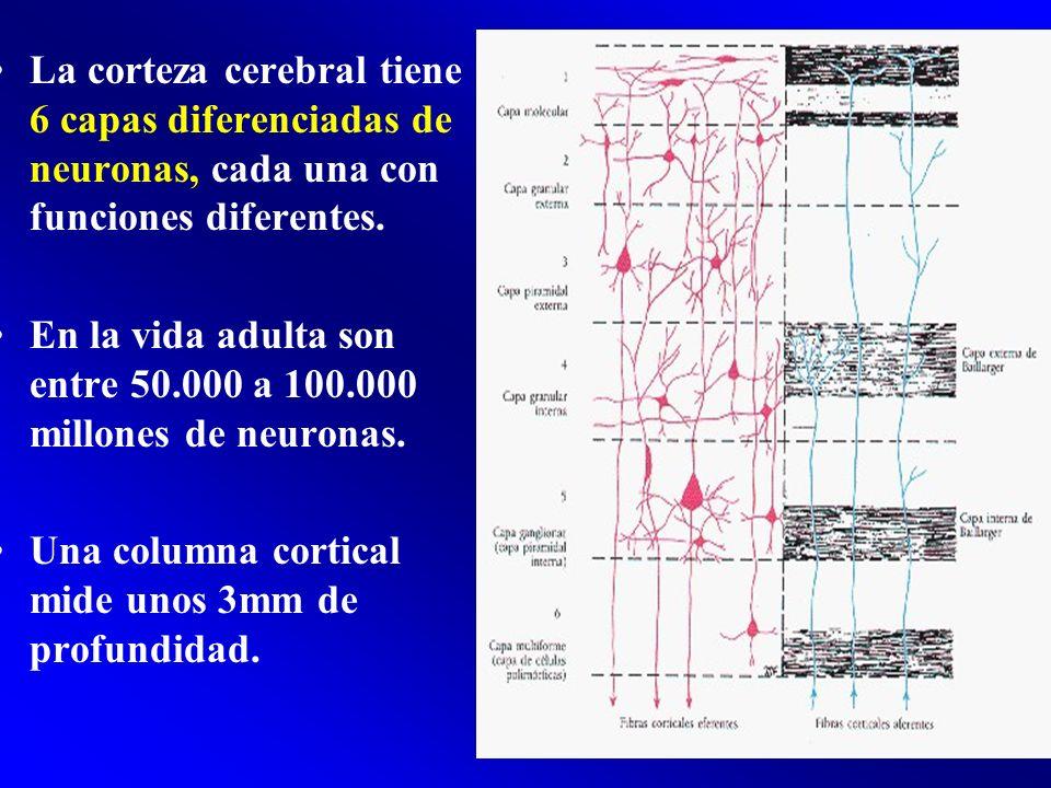 La corteza cerebral tiene 6 capas diferenciadas de neuronas, cada una con funciones diferentes.