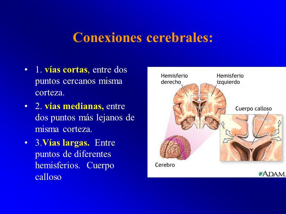 Conexiones cerebrales: