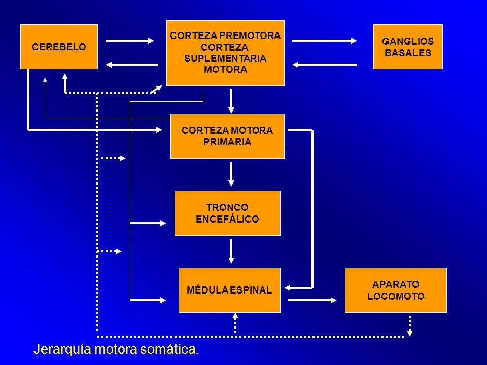 Jerarquía motora somática.