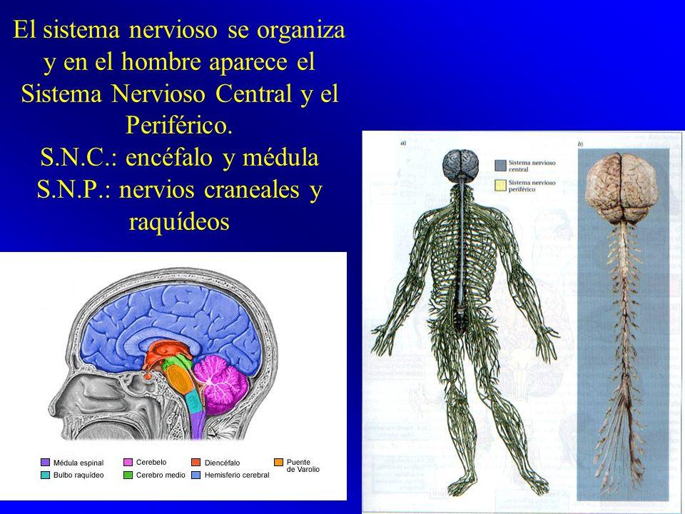 El sistema nervioso se organiza y en el hombre aparece el Sistema Nervioso Central y el Periférico.