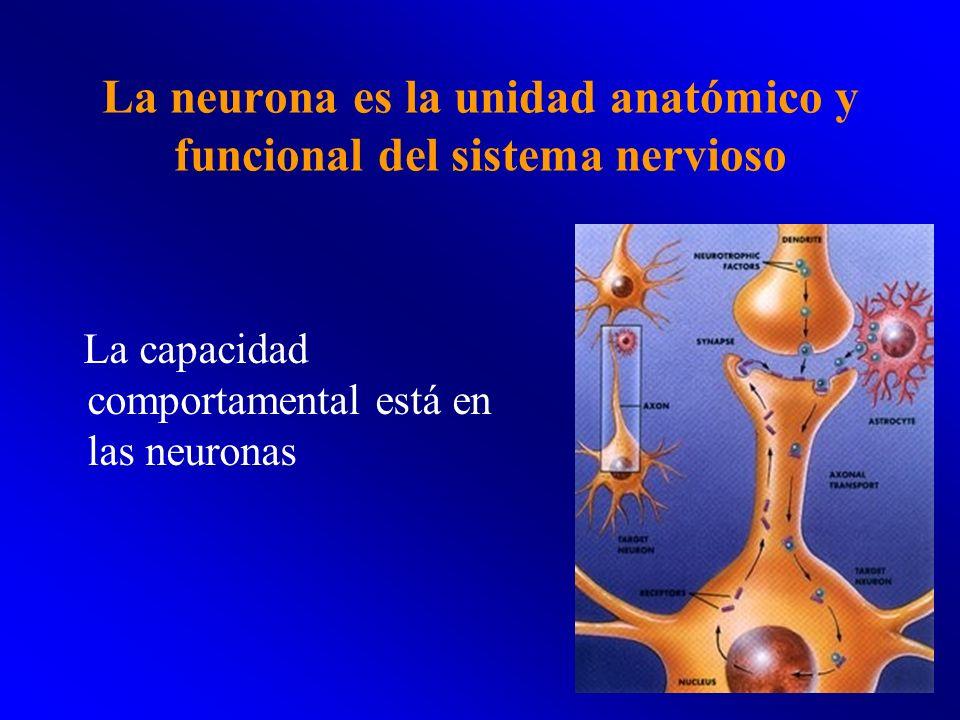 La neurona es la unidad anatómico y funcional del sistema nervioso