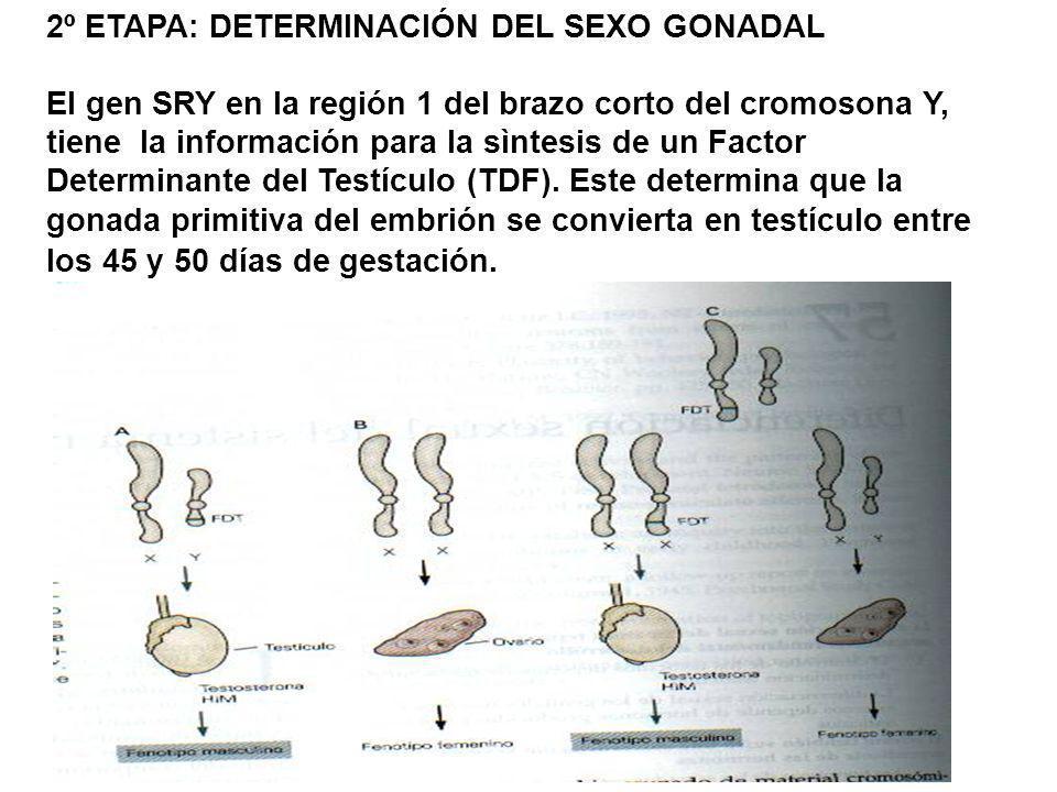 2º ETAPA: DETERMINACIÓN DEL SEXO GONADAL