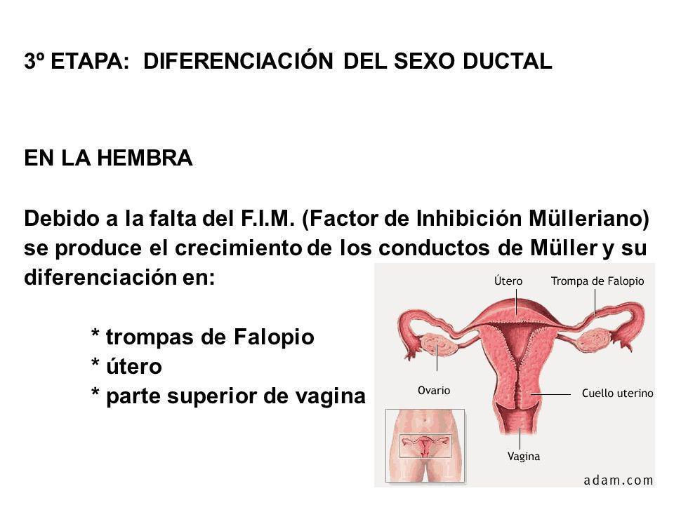 3º ETAPA: DIFERENCIACIÓN DEL SEXO DUCTAL