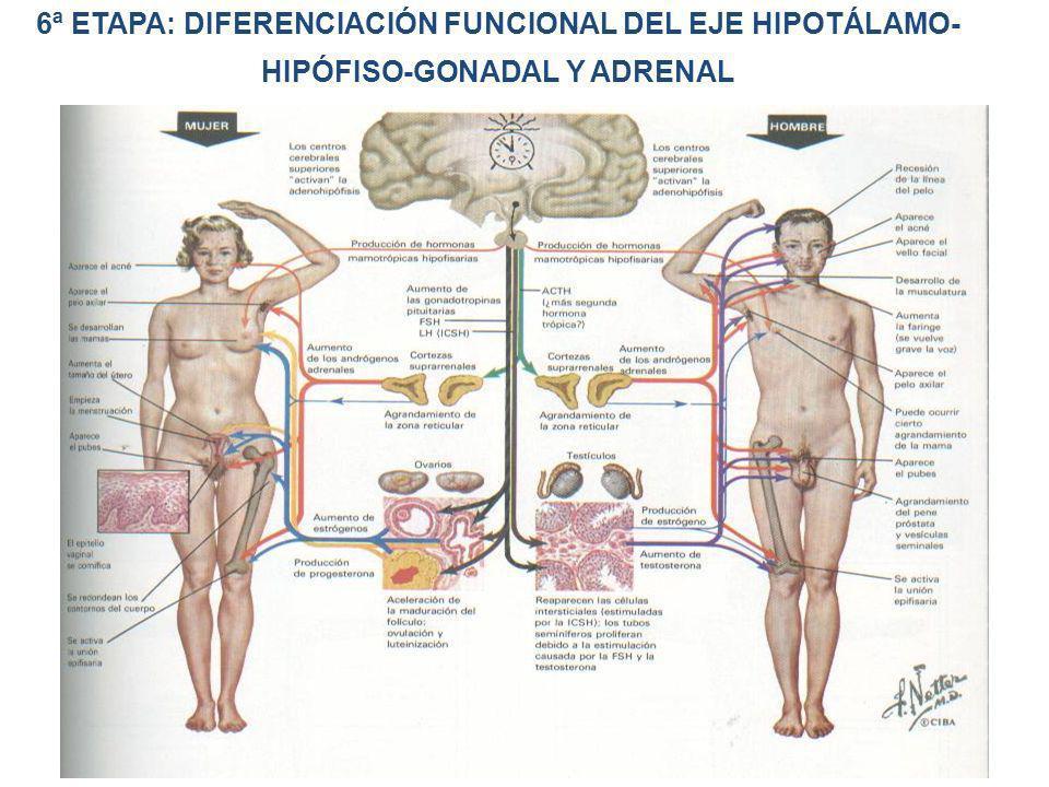 6ª ETAPA: DIFERENCIACIÓN FUNCIONAL DEL EJE HIPOTÁLAMO-HIPÓFISO-GONADAL Y ADRENAL