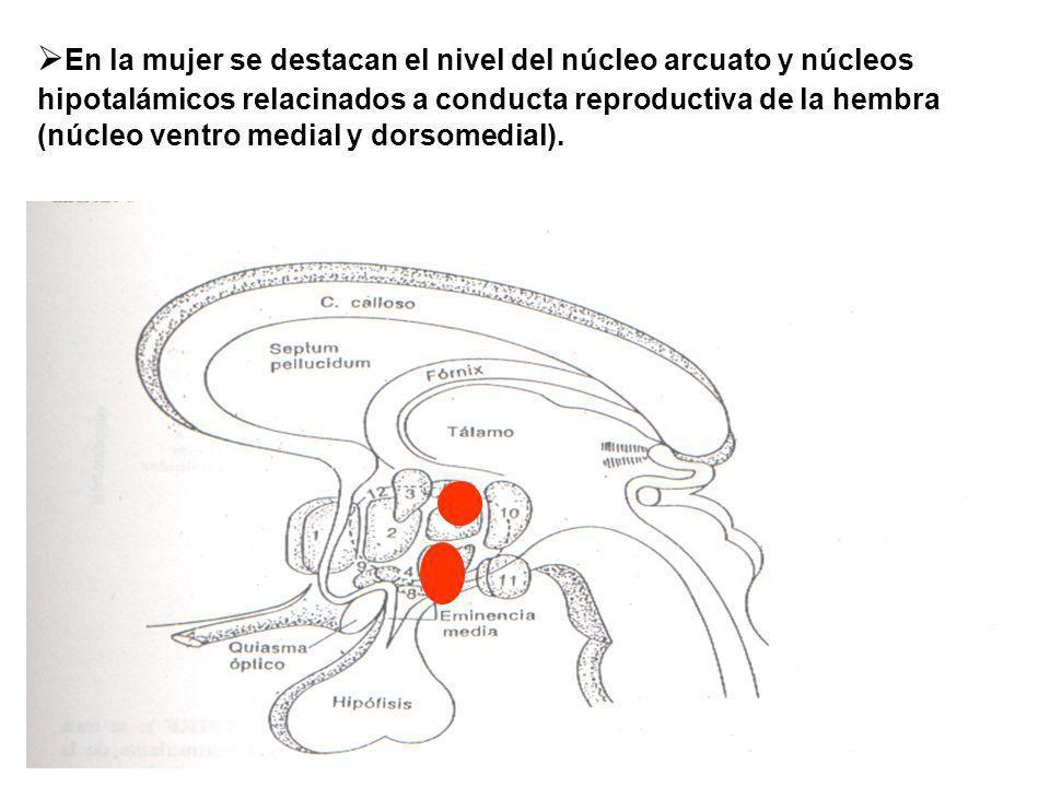 En la mujer se destacan el nivel del núcleo arcuato y núcleos hipotalámicos relacinados a conducta reproductiva de la hembra (núcleo ventro medial y dorsomedial).