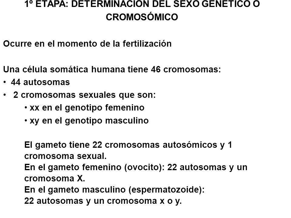 1º ETAPA: DETERMINACIÓN DEL SEXO GENÉTICO O CROMOSÓMICO