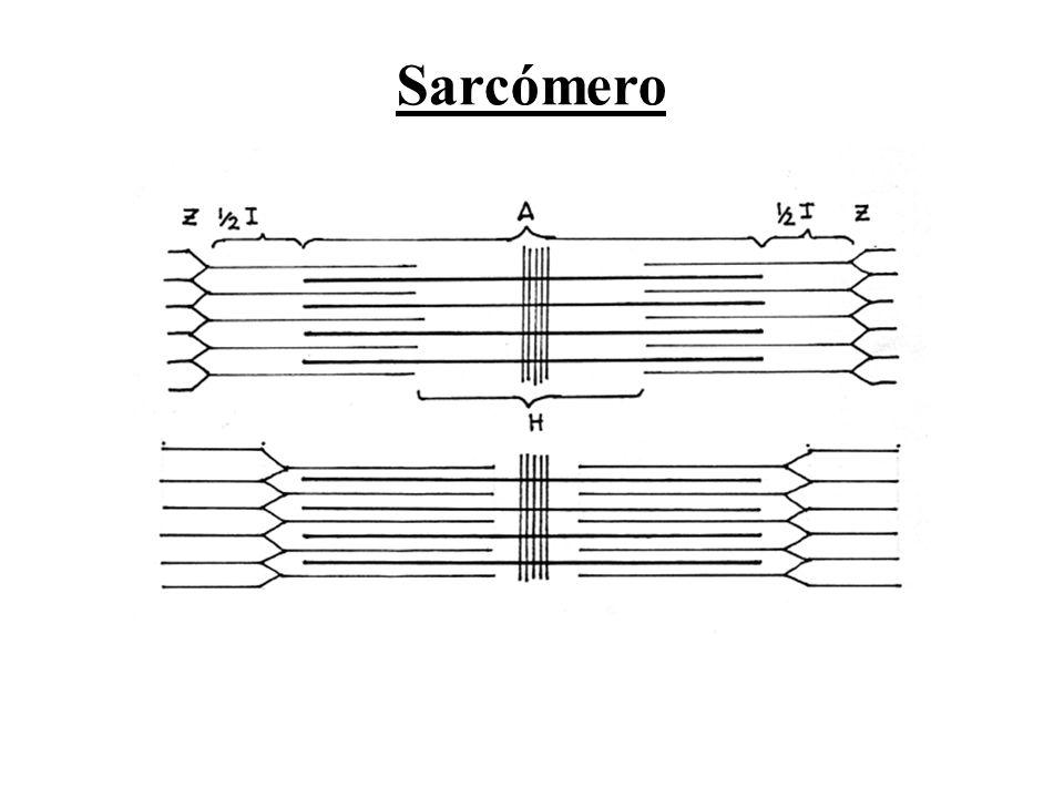 Sarcómero
