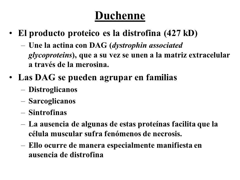 Duchenne El producto proteico es la distrofina (427 kD)