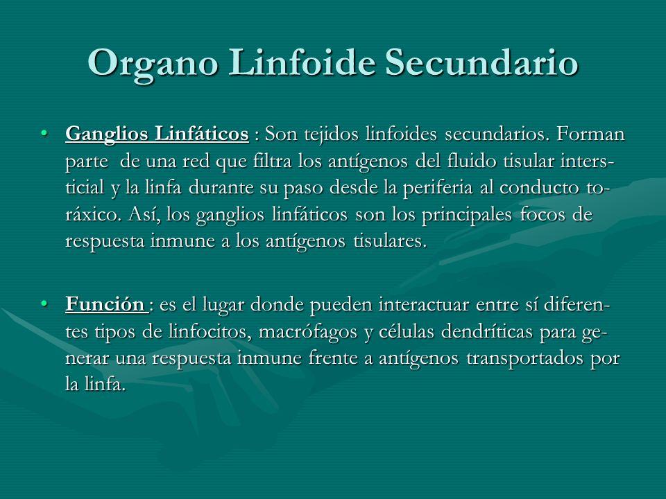 Organo Linfoide Secundario