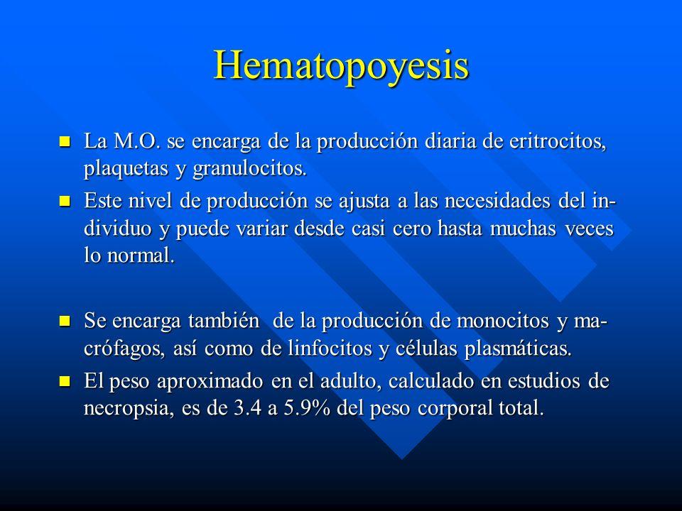 Hematopoyesis La M.O. se encarga de la producción diaria de eritrocitos, plaquetas y granulocitos.