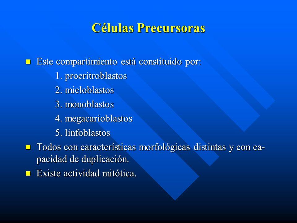 Células Precursoras Este compartimiento está constituido por:
