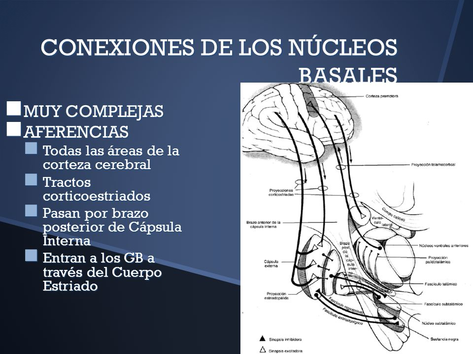 CONEXIONES DE LOS NÚCLEOS BASALES