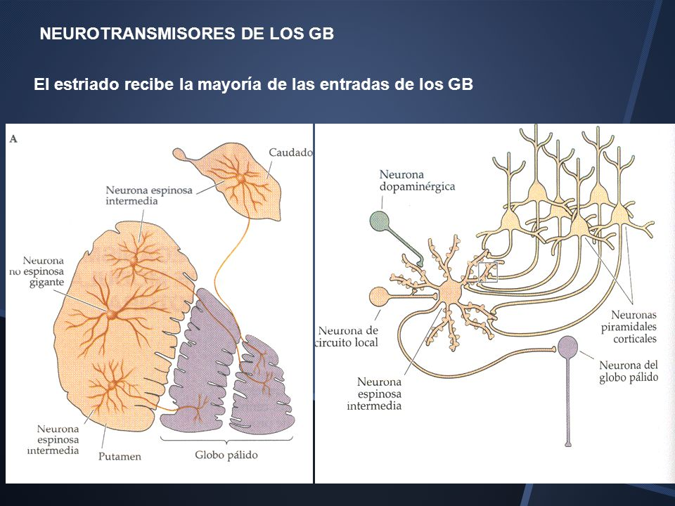 NEUROTRANSMISORES DE LOS GB
