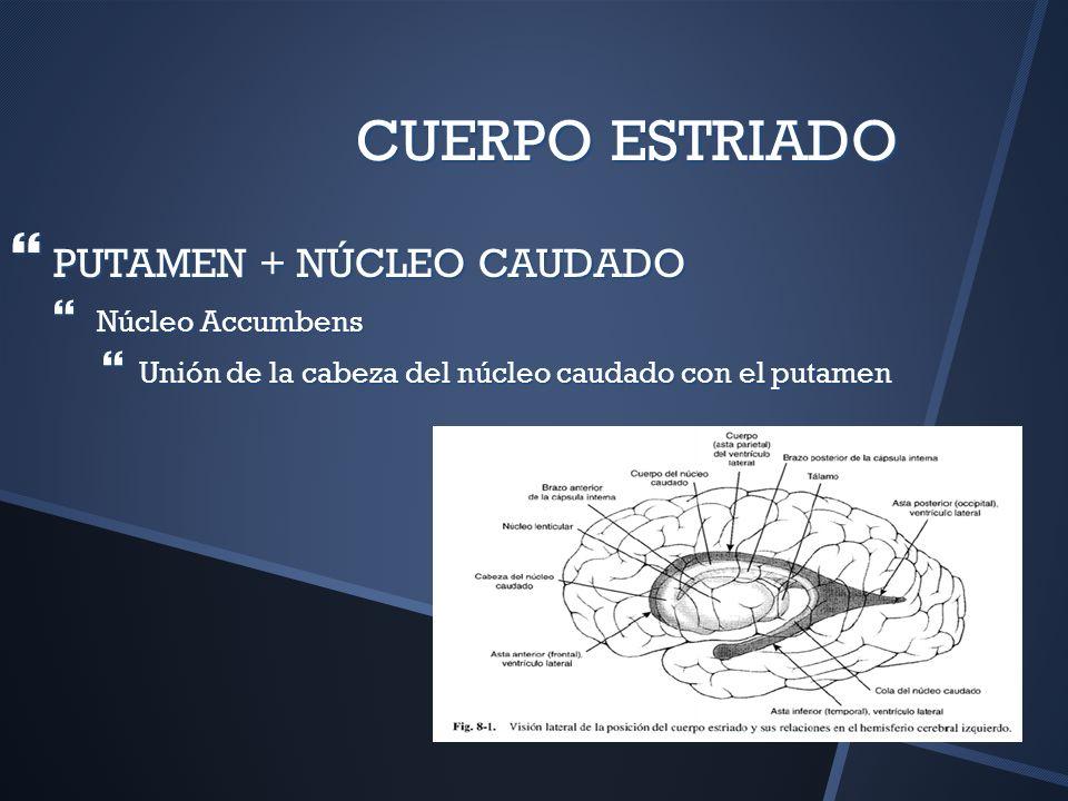 CUERPO ESTRIADO PUTAMEN + NÚCLEO CAUDADO Núcleo Accumbens