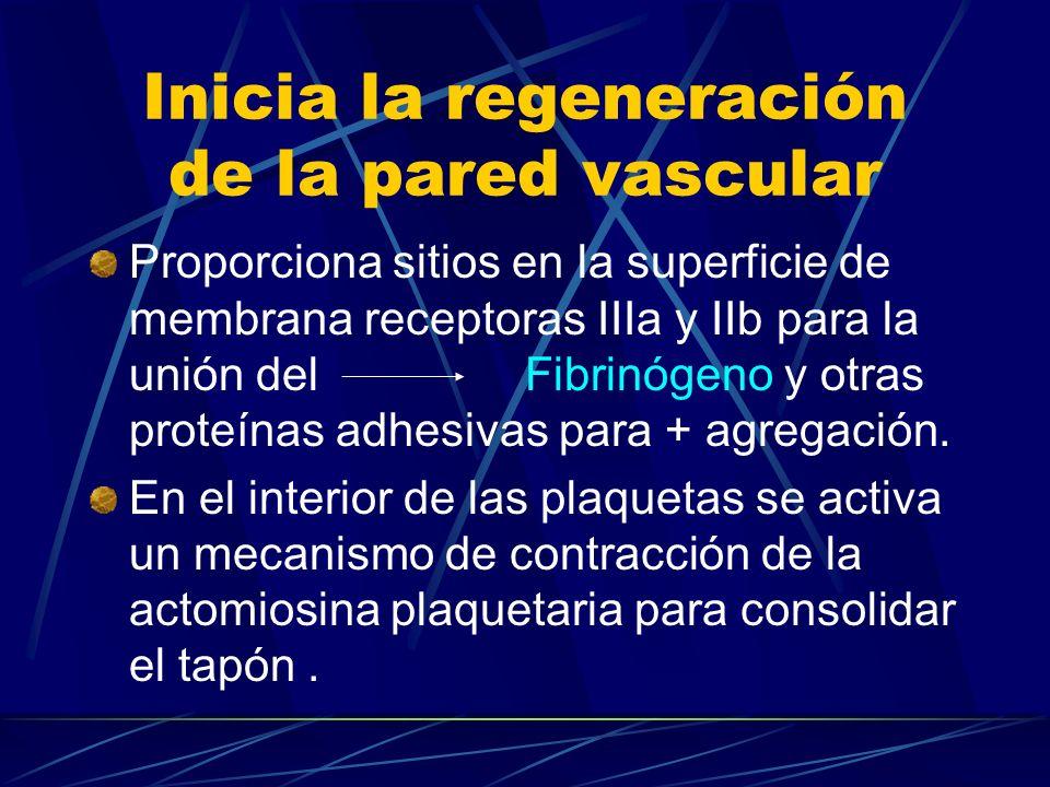 Inicia la regeneración de la pared vascular
