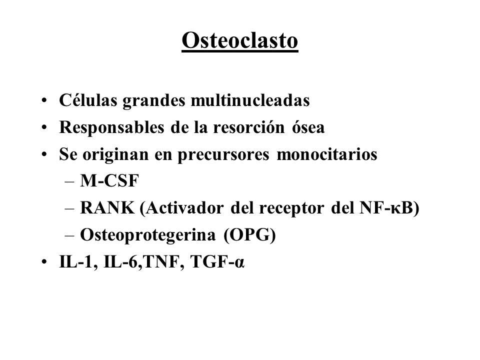 Osteoclasto Células grandes multinucleadas