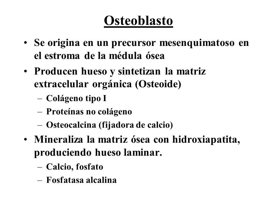 Osteoblasto Se origina en un precursor mesenquimatoso en el estroma de la médula ósea.