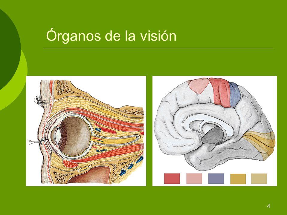 Órganos de la visión