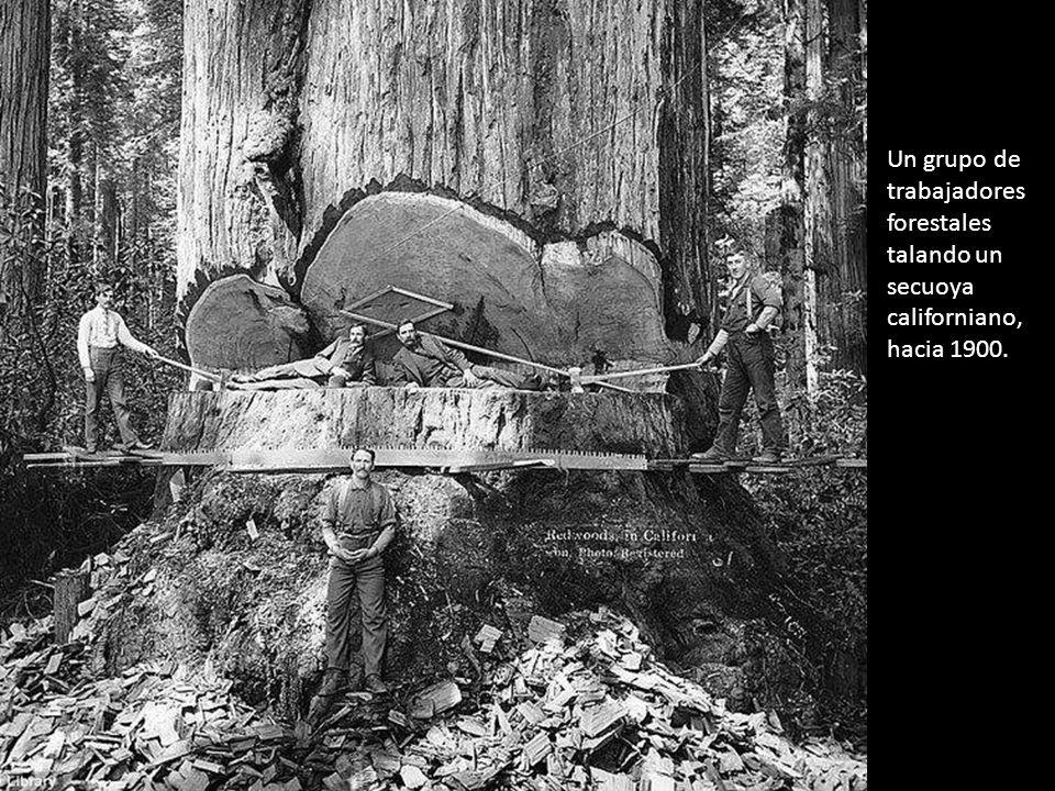 Un grupo de trabajadores forestales talando un secuoya californiano, hacia 1900.