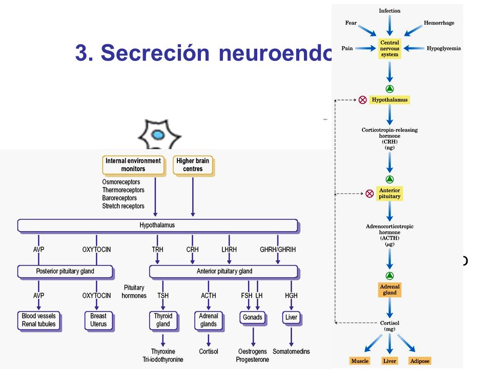3. Secreción neuroendocrina